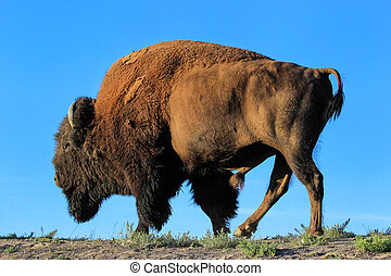 Male bison standing against blue sky, Yellowstone National Park, Wyoming