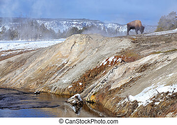 Male bison standing by Firehole River in Upper geyser basin, Yellowstone National Park, Wyoming
