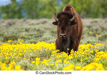 Male bison standing in the field with flowers, Yellowstone National Park, Wyoming