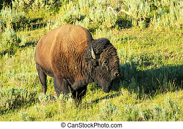 Male bison standing in Yellowstone National Park, Wyoming