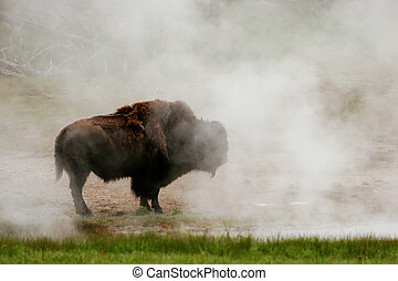 Male bison standing near hot spring in Yellowstone National Park, Wyoming