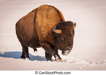 Male bison walking in the snow