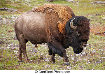 Male bison walking in Yellowstone National Park, Wyoming