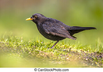 Male Blackbird foraging in backyard
