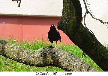 Male blackbird sitting on the branch