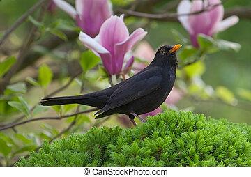 Male Blackbird (Turdus merula) - Male Blackbird in garden in...