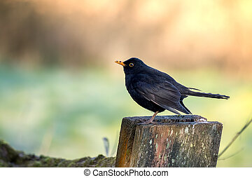 Male Blackbird (Turdus merula) standing on a wooden post
