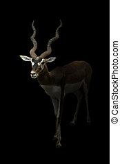male blackbuck standing in the dark