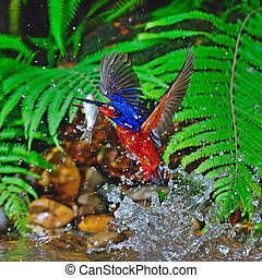 male Blue-eared Kingfisher - Well done, catching fish, male...