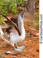 Male Blue-footed Booby displaying on North Seymour Island, Galapagos National Park, Ecuador