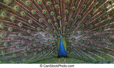 Male Blue Peafowl displaying - Peacock tail up with...
