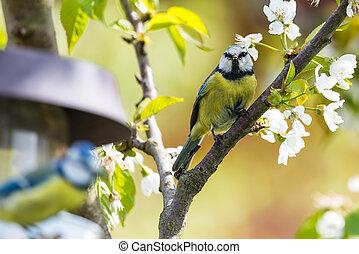 Male blue tit bird observes the female on a feeder