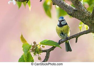Male blue tit sings on cherry tree_