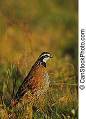 a male bobwhite quail in tall grass