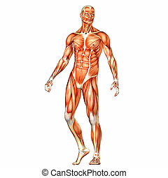 Male Body Anatomy - Illustration of the anatomy of the male ...