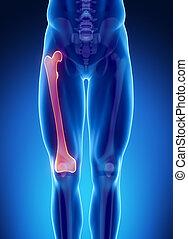 Male bone anatomy femur