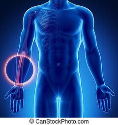 Male bone anatomy radius