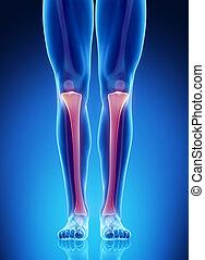 Male bone anatomy tibia