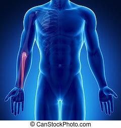Male bone anatomy ulna