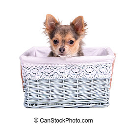 Male (boy) chihuahua puppy in blue basket