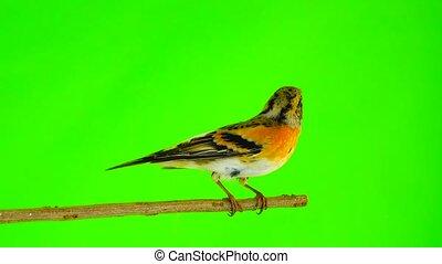 male Brambling (Fringilla montifringilla) sits on a branch...