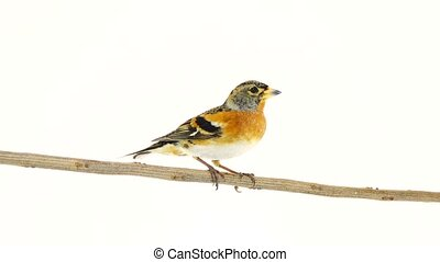 male Brambling (Fringilla montifringilla) sits on a branch,...