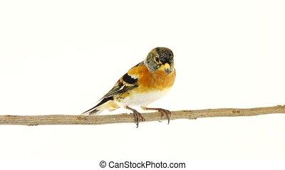 male Brambling (Fringilla montifringilla) sits on a branch,...