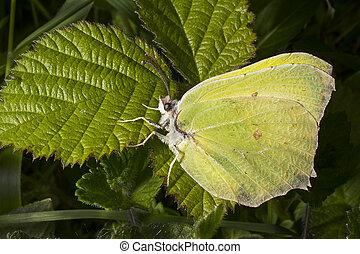 Male Brimstone butterfly on bramble leaf