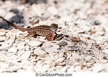 Male Brown Anole lizard Anolis sagrei with a red orange...