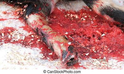 Male butcher farmer kills a goat for food. A newly killed...