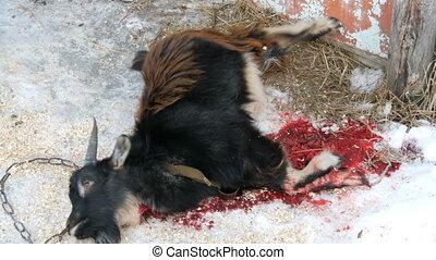 Male butcher farmer kills a goat for food. Killed goat lies...
