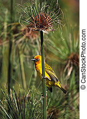 Male Cape Weaver (Ploceus capensis) sitting on a reed.