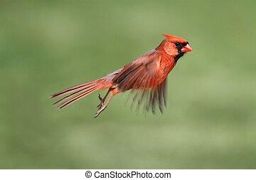 Male Cardinal In Flight
