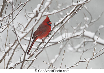 Male Cardinal in Winter - Male Northern Cardinal (Cardinalis...