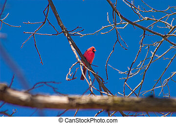 Male Cardinal in Winter sitting on a branch