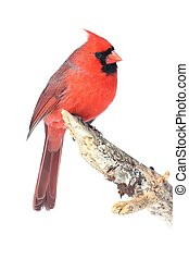 Male Cardinal Isolated on White - Male Northern Cardinal (...