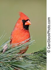 Male Cardinal On A Branch