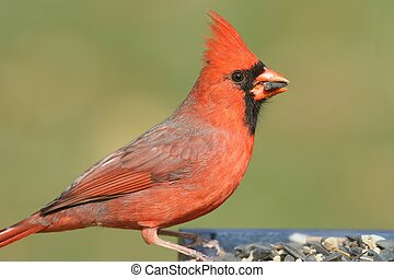 Male Cardinal On A Feeder
