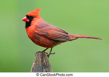 Male Northern Cardinal (cardinalis cardinalis) on a fence with a green background