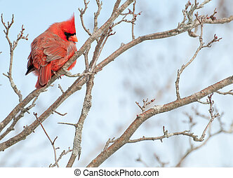 Male Cardinal Perched