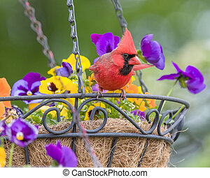 Male Cardinal perched in hanging flower basket