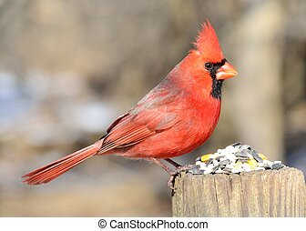 Male Cardinal perched on a fence with bird seed.