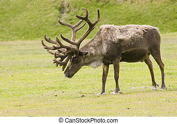 An older male caribou in velvet, shedding his winter coat standing in a a meadow