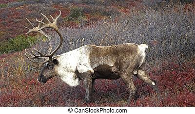 Male Caribou on Red Tundra - Alaska Caribou on Fall Tundra