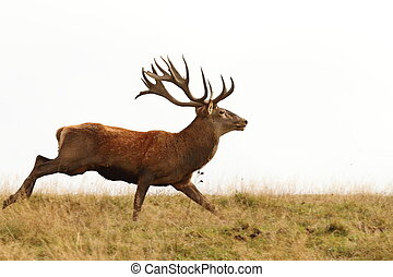 male cervus elaphus on the run ( European red deer buck )