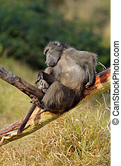 Male chacma baboon in a tree
