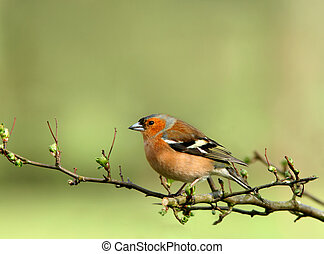 Male Chaffinch - Male chaffinch sitting on the branch of a ...