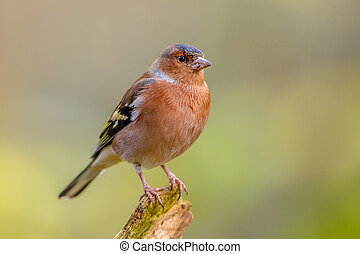 Male Chaffinch on green background