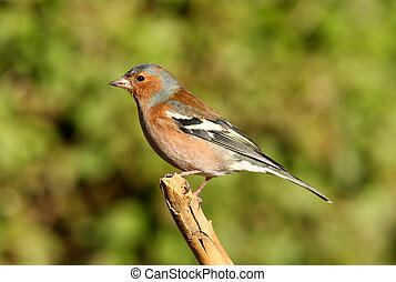 Male Chaffinch - Portrait of a male Chaffinch