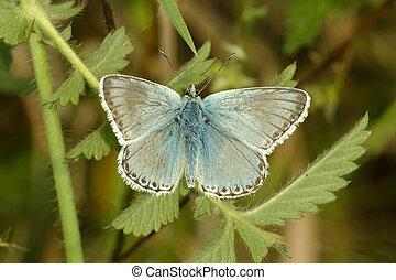 Male Chalkhill Blue buttterfly, Polyommatus coridon, on nettle leaf